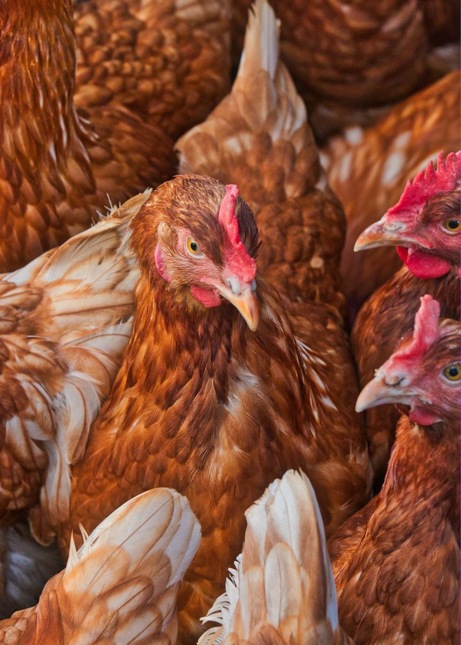 chicken, egg, farm
