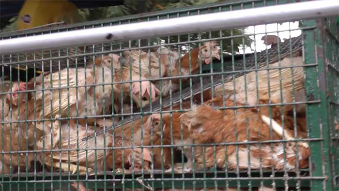 Birds-crushed-in-transport-cage